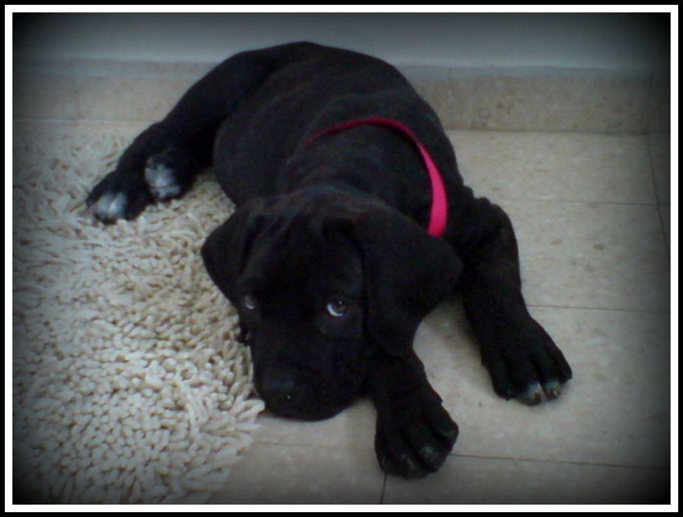Cane Corso Puppy border
