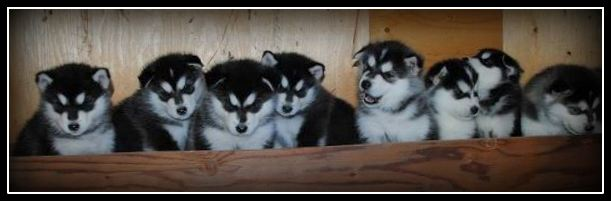 Howling Pines Pups FRAMED