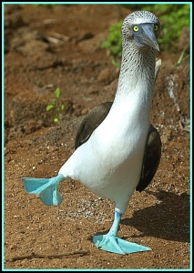 High-stepping dance of the blue-footed booby as he displays his fancy blue feet to a prospective mate.