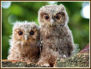 Nat. Geographic Baby owls border