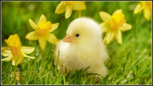 Spring Chick border