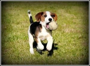 Beagle Pup border