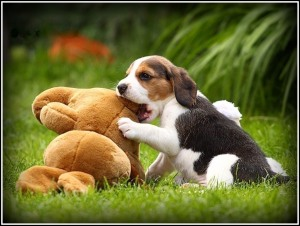 Beagle-Puppies-Wallpaper- border