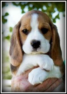 Beagle Puppy Border