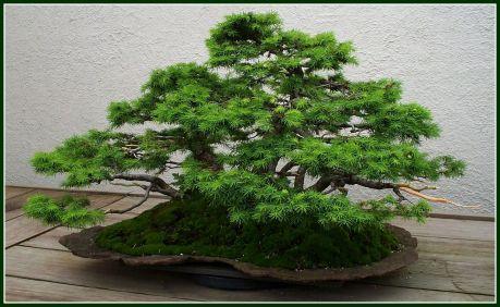 bonsai-2-adj