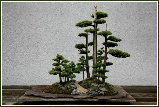 bonsai-juniperus-chinensis6-adj