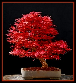 japanese-maple-bonsai-41-adj