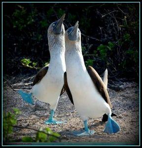 Blue-footed boobies strutting their stuff