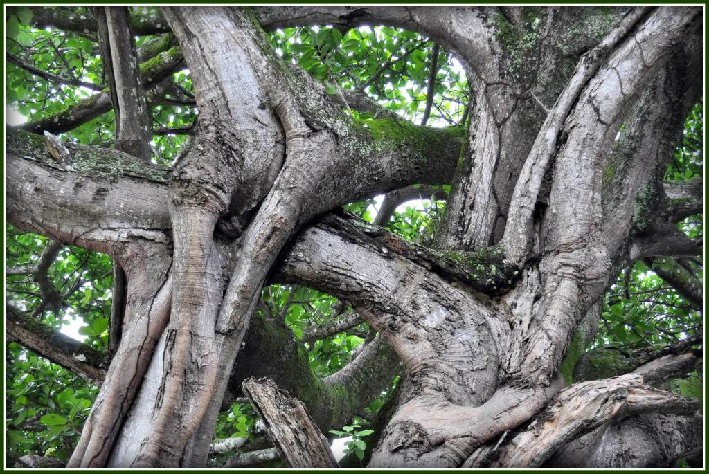 Intertwined branches of a large tree