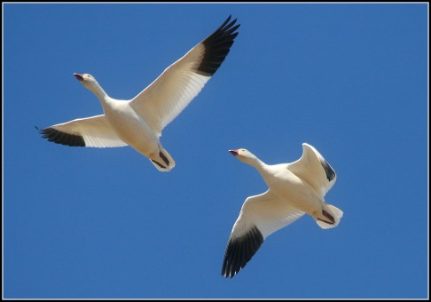 snow-geese-for-post