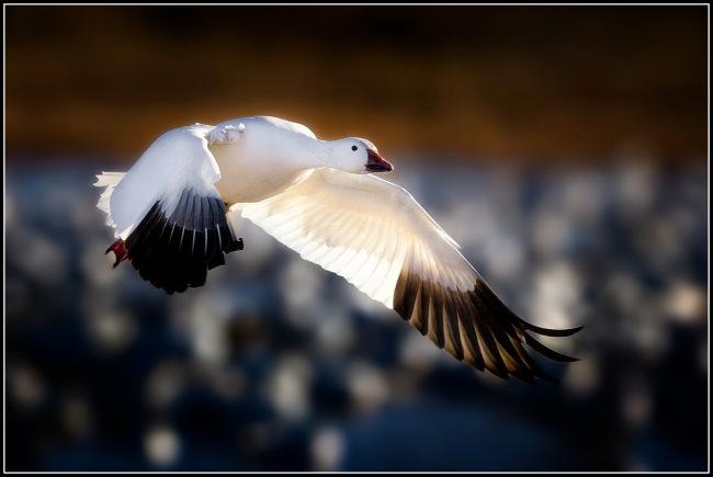 snow-goose-snow-goose-conservation-hunts-arkansas-county-post-flipped